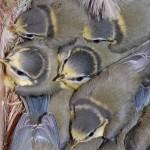 jonge pimpelmezen