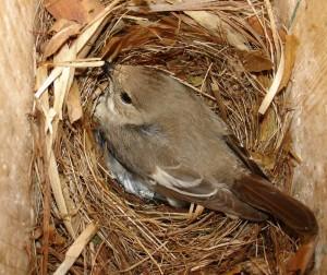 vrouwtje op nest