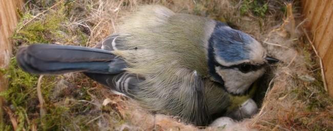 pimpelmees op nest