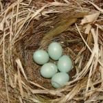 eieren bonte vliegenvanger