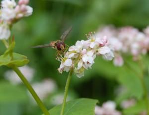 boekweit trekt insecten aan