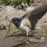 bron: vogeldagboek.nl