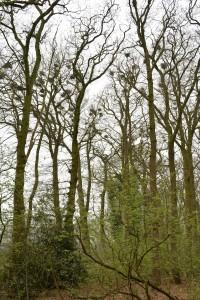roekenkolonie Donkere Bosje Balkbrug, naast Veldzicht