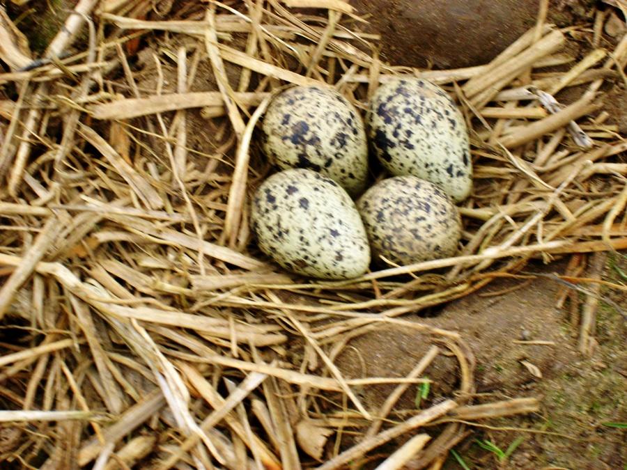 nest met 4 eieren