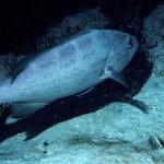 Lutjanus cyanopterus