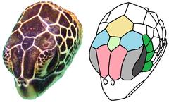 green sea turtle head
