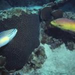 Scarus taeniopterus, Bodianus rufus