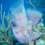 Callyspongia plicifera