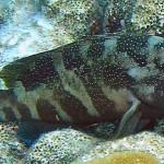 Cephalopholis fulvus