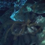 Davidaster rubiginosa