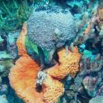 Spheciospongia vesparium, Agelas clathrodes