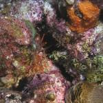 Pseudocorynactis caribbeorum