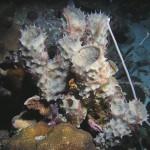 Ophiothrix suensonii