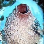 Neofibularia nolitangere